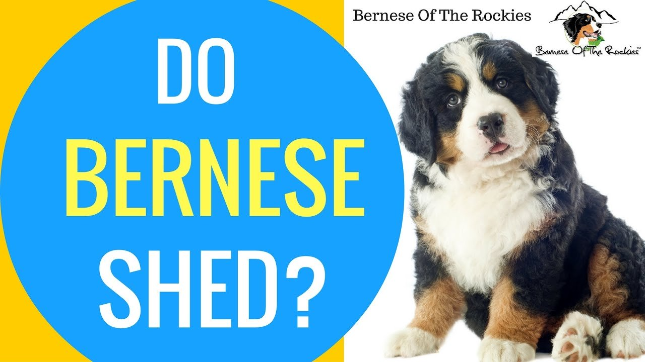 Practical Care Tips for a Bernese Mountain Dog - See Here