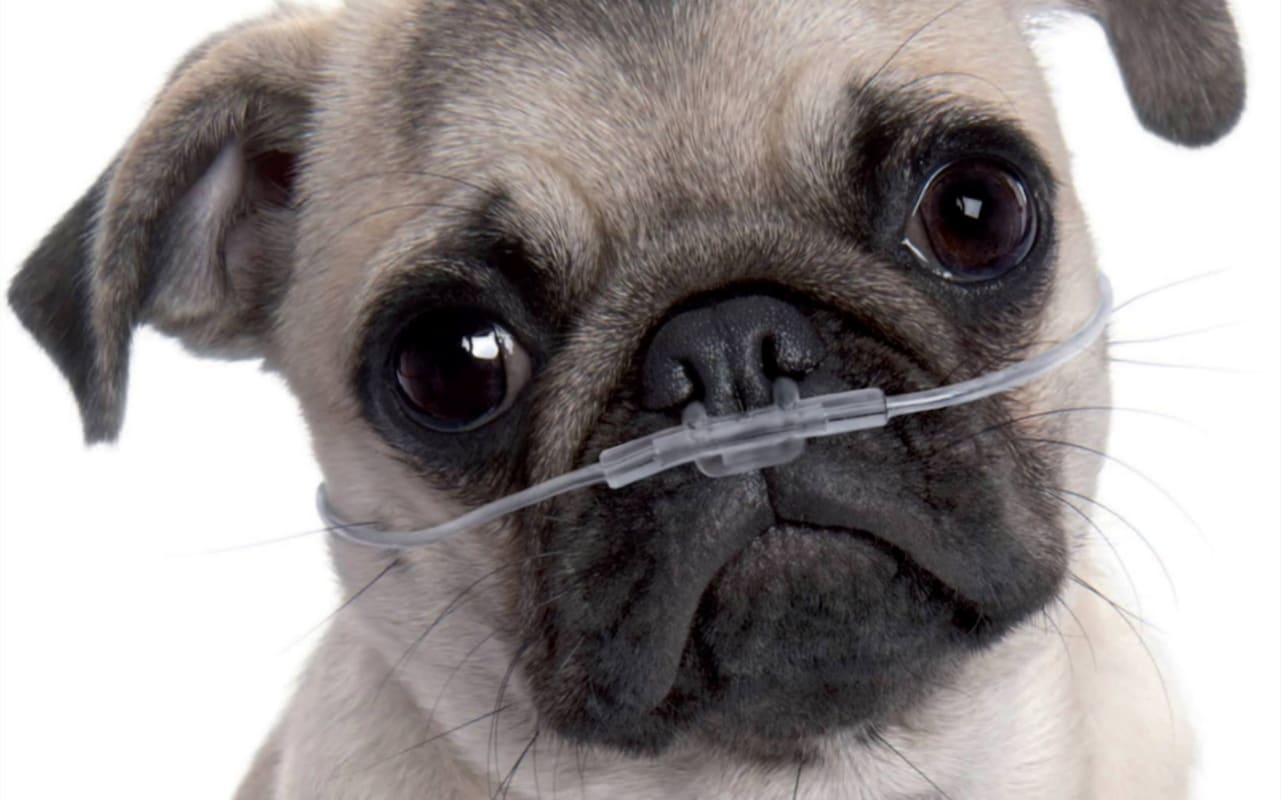 Pug Puppies - Learn About the Health Risks Associated