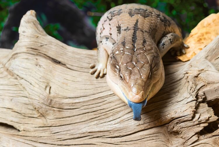 Discover Some of the Best Lizard Pets to Have